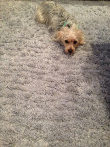 Morgan Hill-Dog-carpet-clean